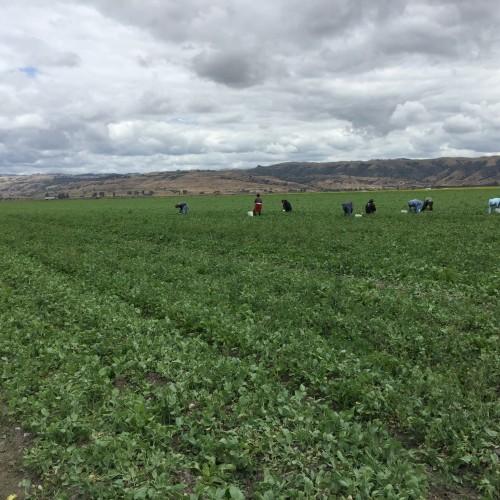 Benito Valley Farm的豆苗由人工採收